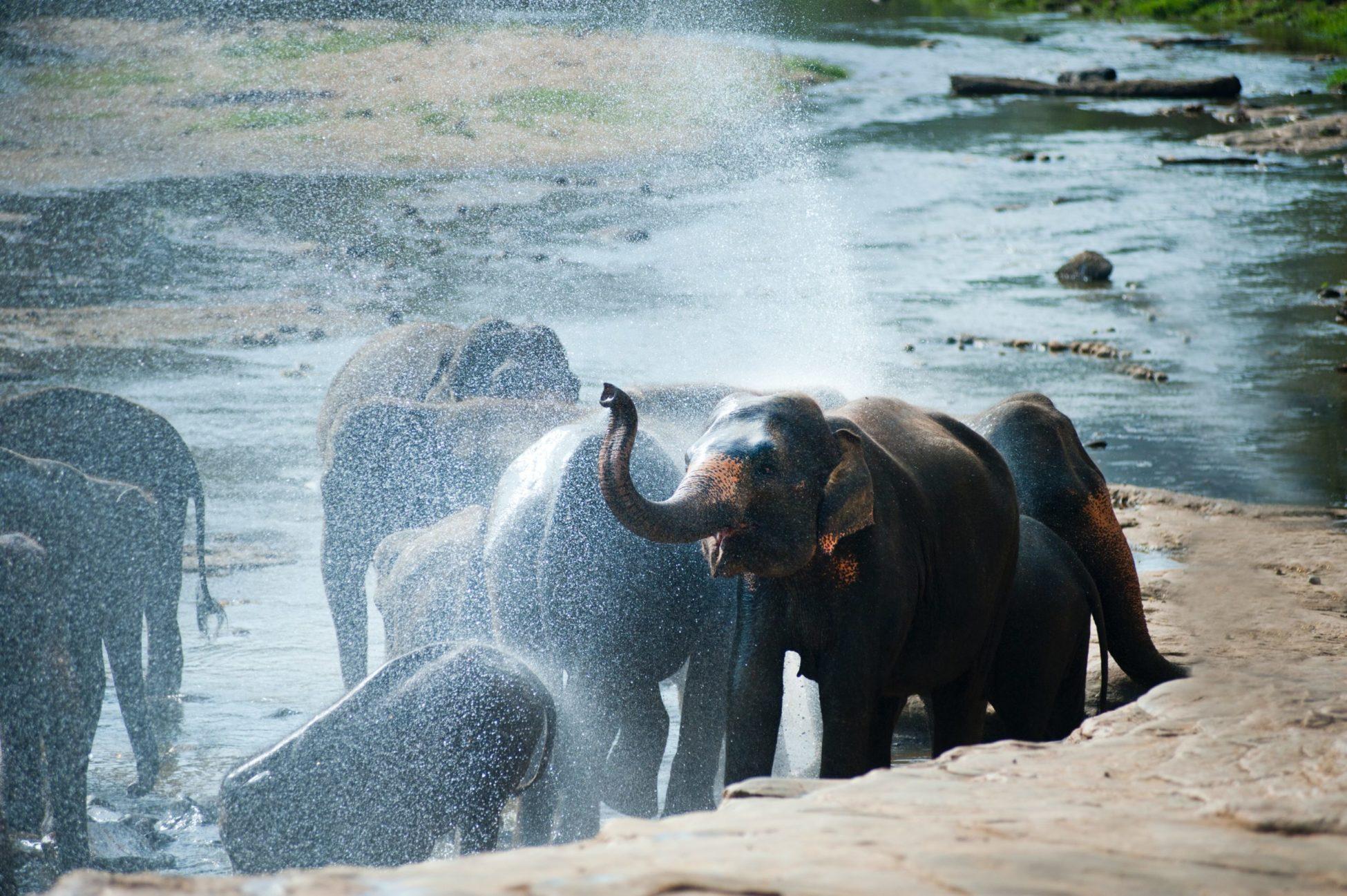 Sri Lanka, gli elefanti